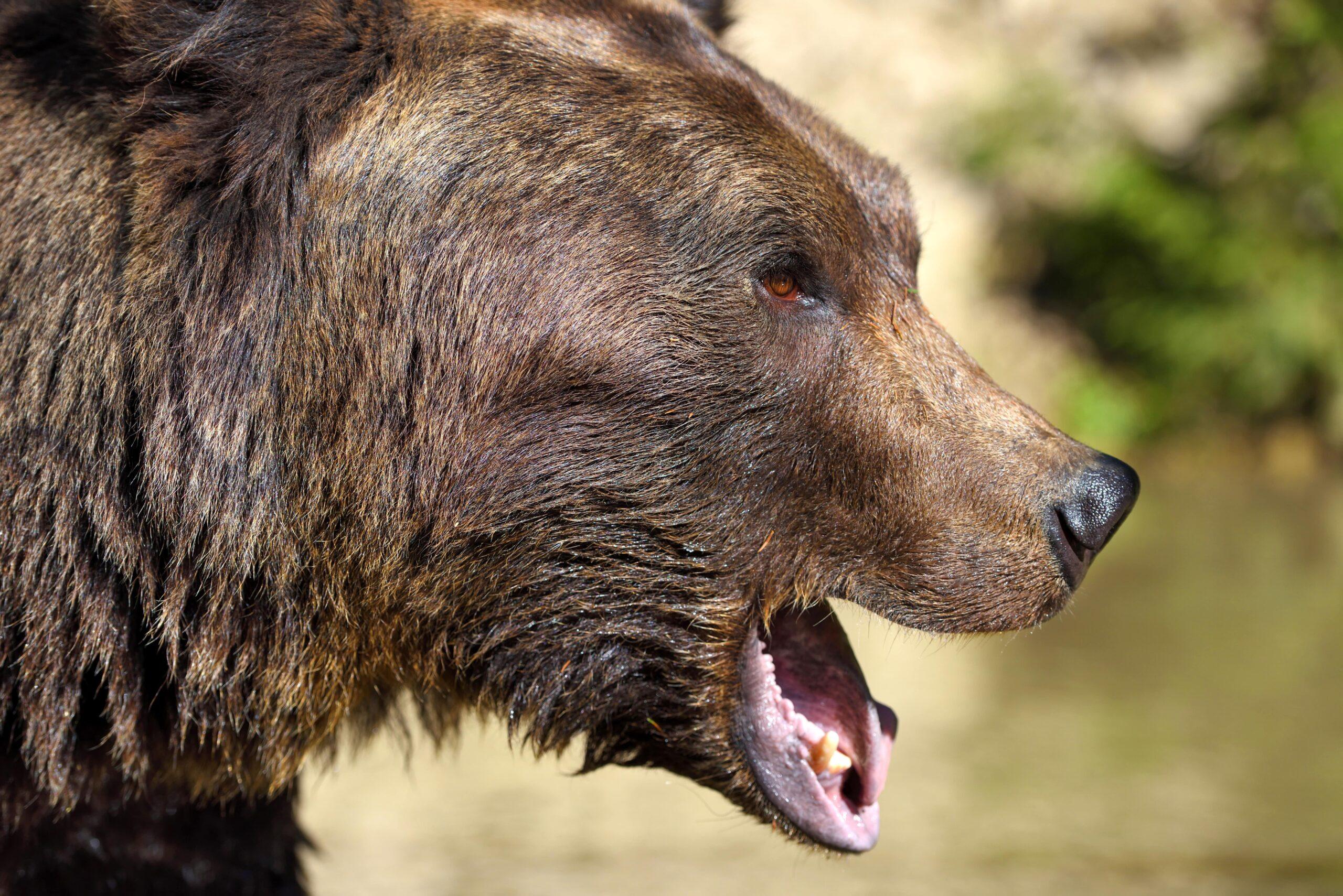 brown-bear-portrait-side-view-of-bear-face-G7E9TKV-min.jpg